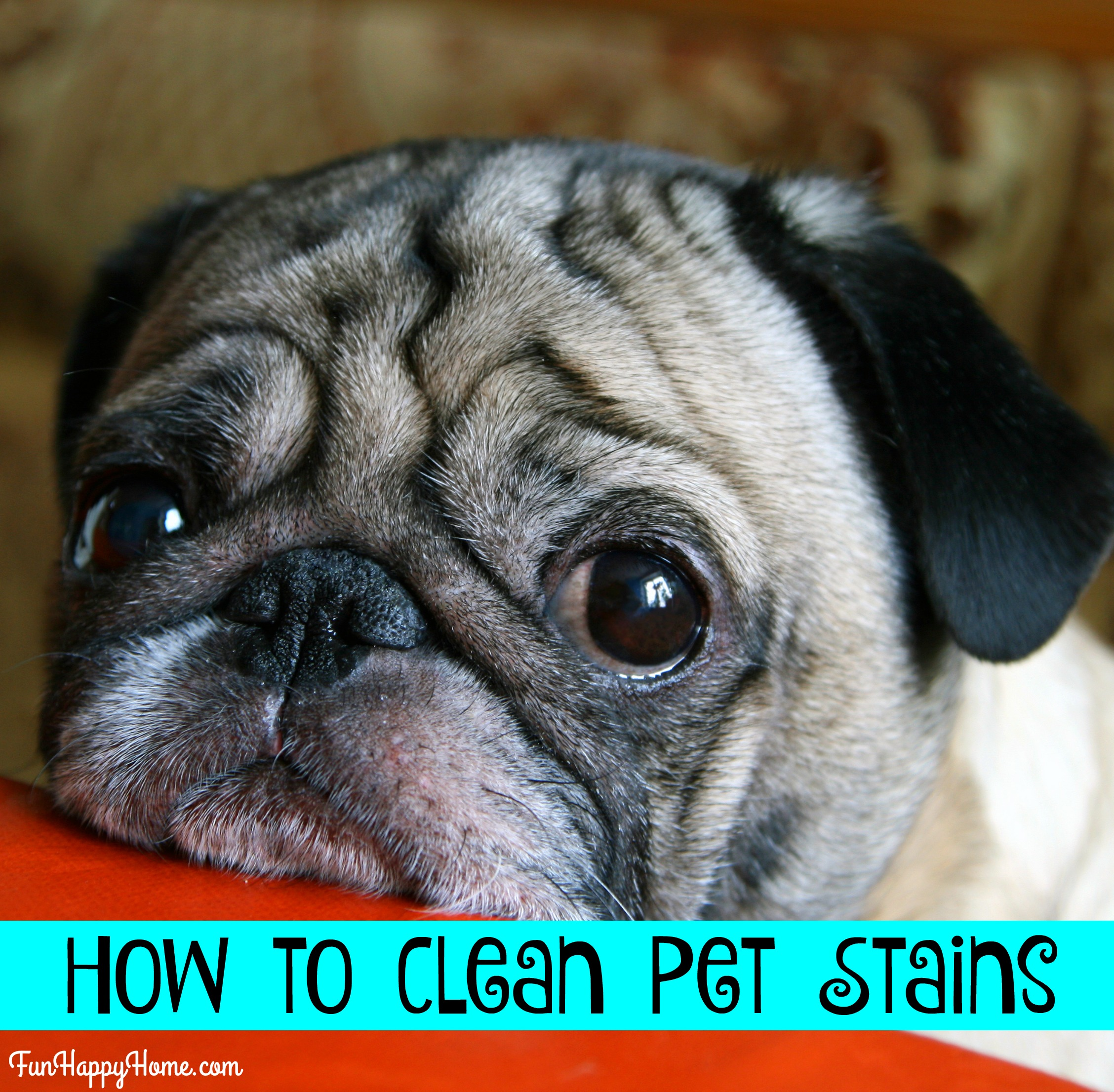 How To Remove Pet Stains From Carpet Quick Easy Cleaning Tips
